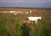 Venta de cabras lecheras y cabritas.