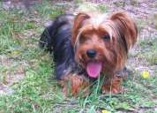 Cachorra yorkshire terrier a la venta