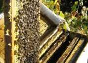 Vendo nucleos de abejas