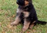 Adorables cachorros de pastor alemán