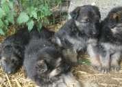 Cachorros pastor alemán listos
